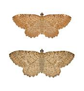 70.118 (1791)<br /> Brown Scallop - Philereme vetulata