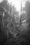 Dead Tree. Moody forest in the fog. Col de Mantet, Pyrenees Orientales, France