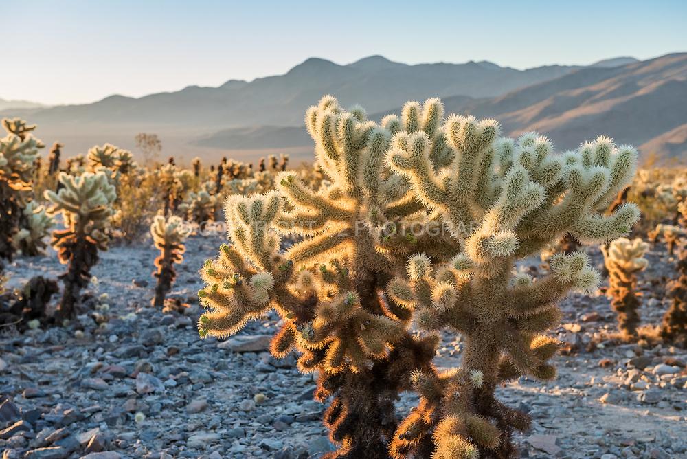 The Cholla Cactus Garden in Joshua Tree National Park.