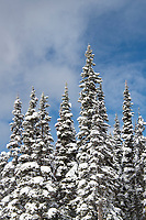 Subalpine trees covered in snow
