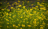 Yellow mustard flowers bloom in a summer field, lush green and bright soft focus.