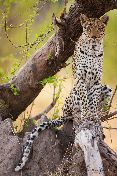 A leopard (Panthera pardus) posing and sitting in a tree while looking at the camera, Moremi Game Reserve, Botswana, Africa