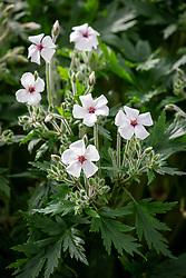 Geranium maderense 'Alba' - Giant herb robert