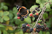 Red Admiral butterfly on blackberries in British countryside in September near to Coughton, England, United Kingdom.