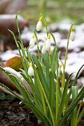 Galanthus 'Primrose Warburg', snowdrop