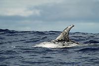 Risso's dolphin, Grampus griseus, Pico, Azores, Portugal