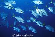 horse-eye, horse eye, or bigeye jacks, Caranx latus, <br /> The Elbow, Turneffe Island Atoll, Belize, Central America ( Caribbean Sea )