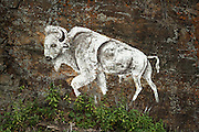 The sacred Whote Buffalo painted on a rock wall on the Rocky Boy's Indian Reservation in northern Montana.
