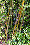 Bamboo growing in the Fall at Queen Elizabeth Park in Vancouver, British Columbia, Canada