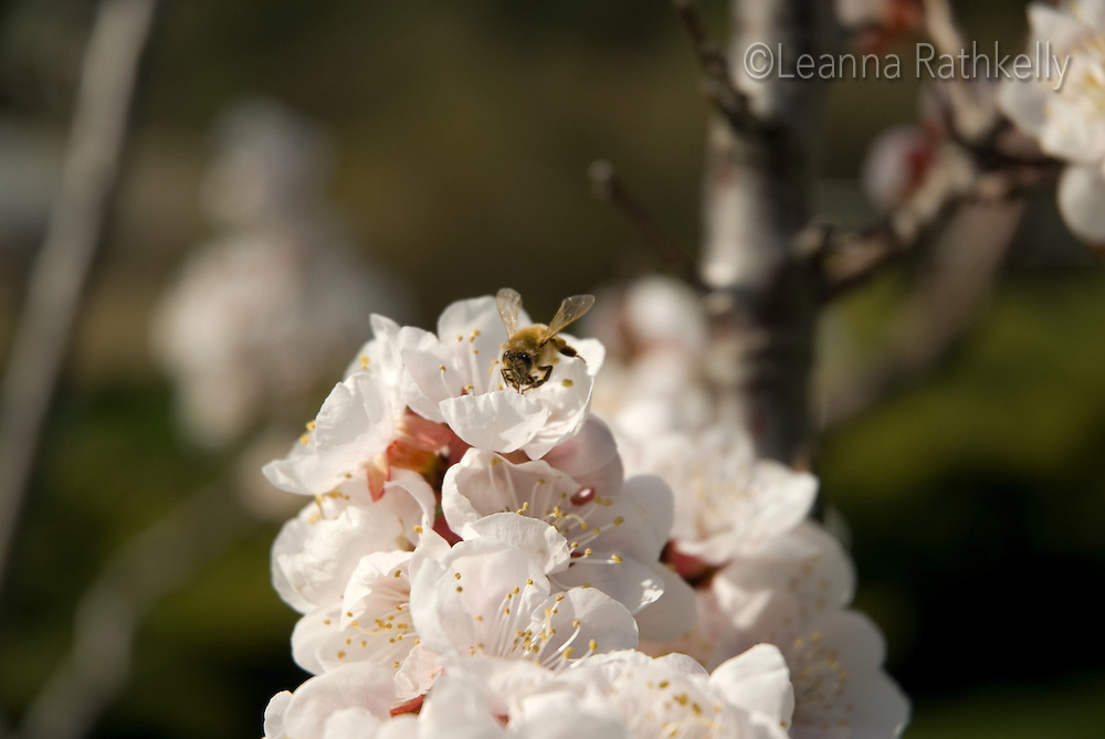 Bee pollinates apricot tree flowers. in the Okanagan, BC Canada