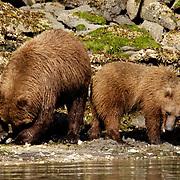 Alaskan Brown Bear (Ursus middendorffi) Mother and cub clamming. Katmai National Park. Alaska.
