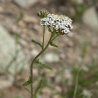 A Yarrow plant (Achillea millefolium) blooms in Montana's Absaroka Mountains.