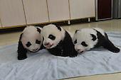 Research Base Of Giant Panda Breeding Opens Panda Kindergarden