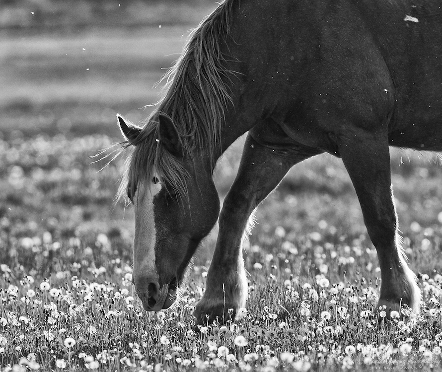 A horse snacks on dandelions in a meadow near Cuningham's Cabin, Grand Teton National Park