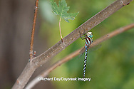 06347-001.11 Lance-tipped Darner dragonfly (Aeshna constricta) male on tree, McHenry Co,. IL