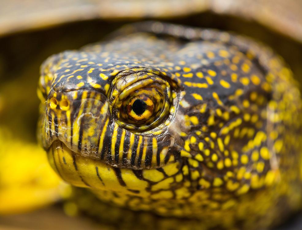 European pond turtle (also called the European pond terrapin), (Emys orbicularis), Campanarios de Azaba Biological Reserve, Salamanca, Castilla y Leon, Spain, Europe