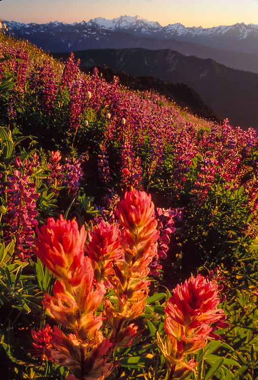 Indian paintbrush and lupine, Obstruction Point area, evening light, summer, Olympic National Park, Washington, USA