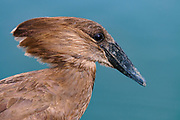 Hammerkop (Scopus umbretta) from the White Nile, Uganda.
