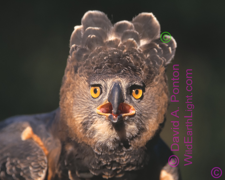 Close up portrait of African crowned eagle (Stephanoaetus coronatus), INTENSITY