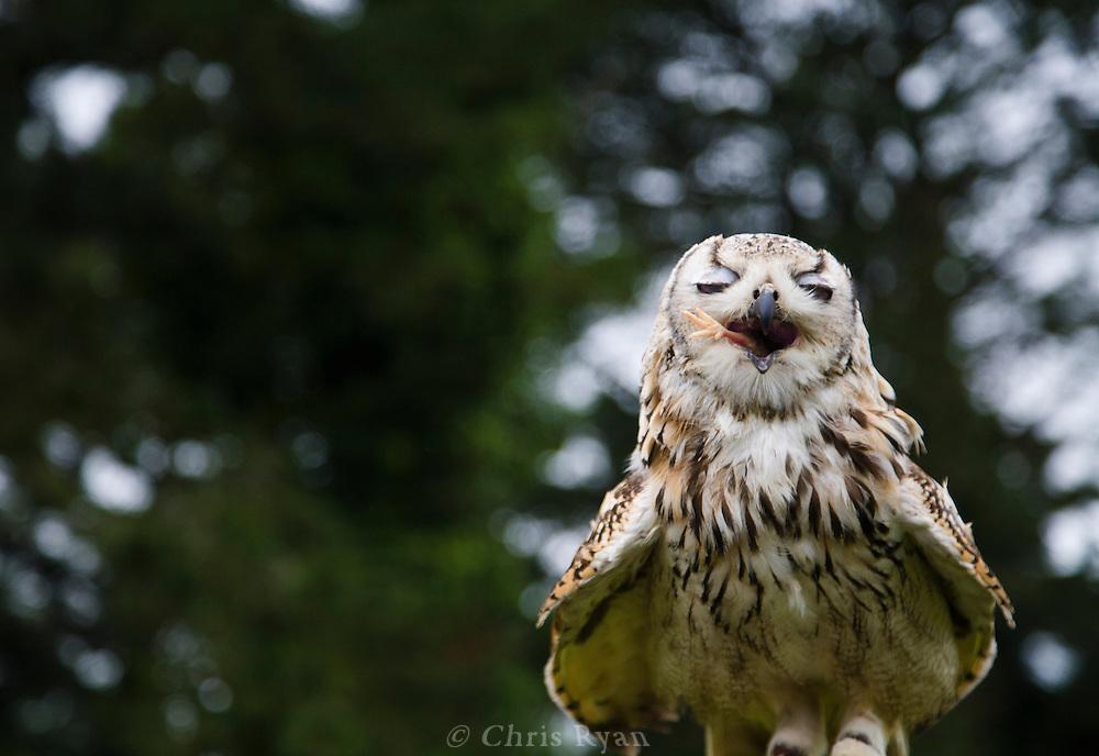 Eagle owl finishing off a chicken leg, Dromoland Castle, Ireland