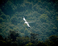 White-tailed Tropicbird flying over Mauritius. Image taken with a Nikon N1V3 camera and 70-300 mm VR lens