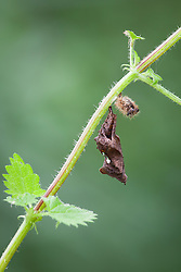 Comma butterfly chrysalis or pupa