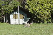 Serval <br /> Felis serval<br /> Masai Mara Reserve, Kenya