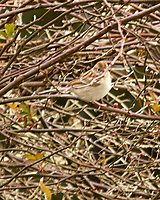 Field Sparrow (Spizella pusilla). Image taken with a Nikon D2xs camera and 80-400 mm VR lens.