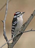 A Very Cute Bird, The Downy Woodpecker, Picoides pubescens, In Profile View