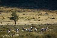 Pronghorn Antelope (Antilocapra americana) herd, Grand Teton National Park, Wyoming