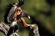 Harris Hawk grabs food from a perch at the Center for Birds of Prey November 15, 2015 in Awendaw, SC.