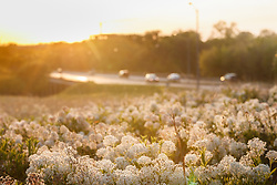 Prairie redroot (Ceanothus herbaceus) on Blackland Prairie remnant at dusk with Mockingbird Avenue and automobiles in background, White Rock Lake, Dallas,Texas, USA