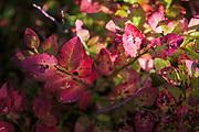 Autumn paints European blueberry (Vaccinium myrtillus) leaves purple and red, Kurzeme Seacoast, Latvia Ⓒ Davis Ulands | davisulands.com