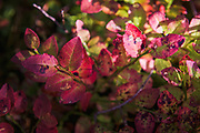 Autumn paints European blueberry (Vaccinium myrtillus) leaves purple and red, Kurzeme Seacoast, Latvia Ⓒ Davis Ulands   davisulands.com