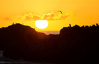 Sun is setting over La Loberia outside the town Cobquecura in Chile. La Loberia is a sea lion colony and seagulls, vultures and sea lions are present at the small island, or rock. In the sunset the rock, animals and birds are seen as silhouettes towards the orange sky.