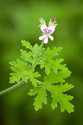 Pelargonium 'Reunion Rose'. Scented leaved pelargonium