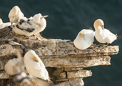 Gannets and Gannet chicks nest at the RSPB nature reserve at Bempton Cliffs in Yorkshire, as over 250,000 seabirds flock to the chalk cliffs to find a mate and raise their young.