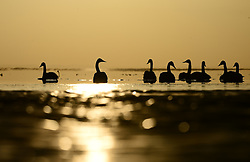 Swans have a rest in the Qinghai Lake in northwest China's Qinghai Province, Feb. 27, 2016. EXPA Pictures © 2016, PhotoCredit: EXPA/ Photoshot/ Zhang Hongxiang<br /><br />*****ATTENTION - for AUT, SLO, CRO, SRB, BIH, MAZ only*****