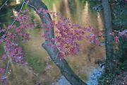 Leaves on a maple tree. Kamakura. Japan