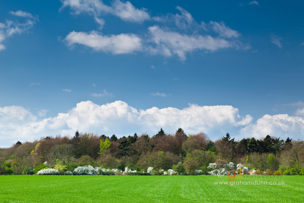 A splash of spring blossom amidst the greens of Fox Covert, Anmer. North Norfolk, East Anglia.