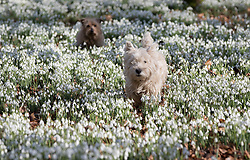 © Licensed to London News Pictures. 13/02/2017. Newbury, UK.  A Highland Terrier and a Norfolk Terrier enjoy the  Snowdrops in the woods at Welford Park near Newbury. Welford Park, where The Great British Bake Off is filmed every summer, is only open for visitors for five weeks in the year - until March 5th. Sunshine and warmer temperatures are expected in the south today after the recent cold spell.  Photo credit: Peter Macdiarmid/LNP