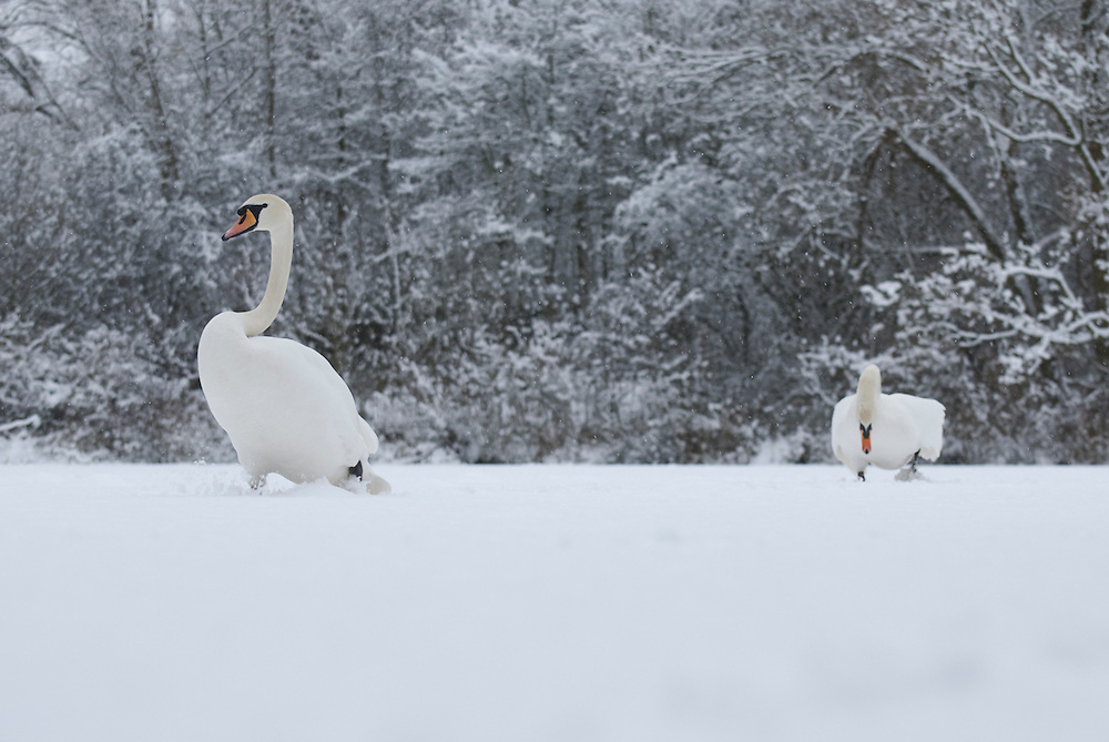 A male and female Mute Swan strolling over a frozen lake