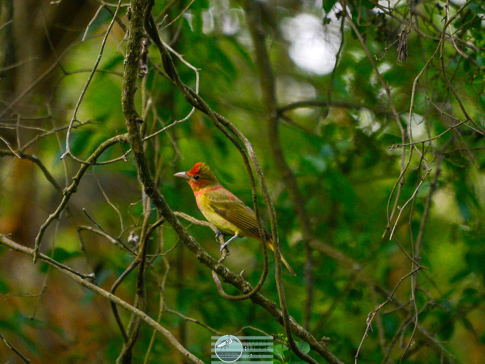 Rare birds of South Texas in Spring in the Estero Llano Grande State Park