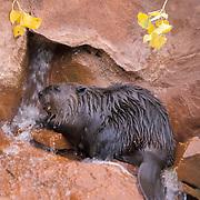 Beaver, (Castor canadensis)  Captive Animal.