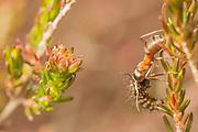 Emperor moth larva (Saturnia pavonia) predated by wood any. Dorset, UK.