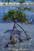 red mangrove sapling, Rhizophora mangle, Bahamas ( Western Atlantic Ocean )