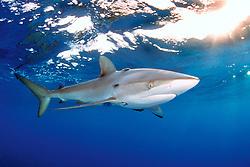 silky shark with remoras, .Carcharhinus falciformis, .Hawaii (Pacific).