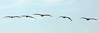 Brown Pelican Patrol, Piedras Blancas Beach, Central California Coast. Image taken with a Nikon D3x and 70-300 mm VR lens (ISO 100, 300 mm, f/14, 1/800 sec)