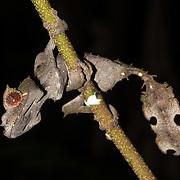 Leaf-tailed gecko, Uroplatus phantasticus, Mount Batukaru, Bali, Indonesia
