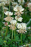 WHITE CLOVER Trifolium repens (Fabaceae) Height to 40cm<br /> Creeping, hairless perennial that roots at the nodes. Found in grassy places on a wide range of soil types. FLOWERS are creamy white, becoming brown with age; borne in long-stalked rounded heads, 2cm across (May-Oct). FRUITS are concealed by the calyx. LEAVES are trifoliate, the rounded leaflets often bearing white mark and translucent lateral veins. STATUS-Widespread and often extremely common throughout the region.